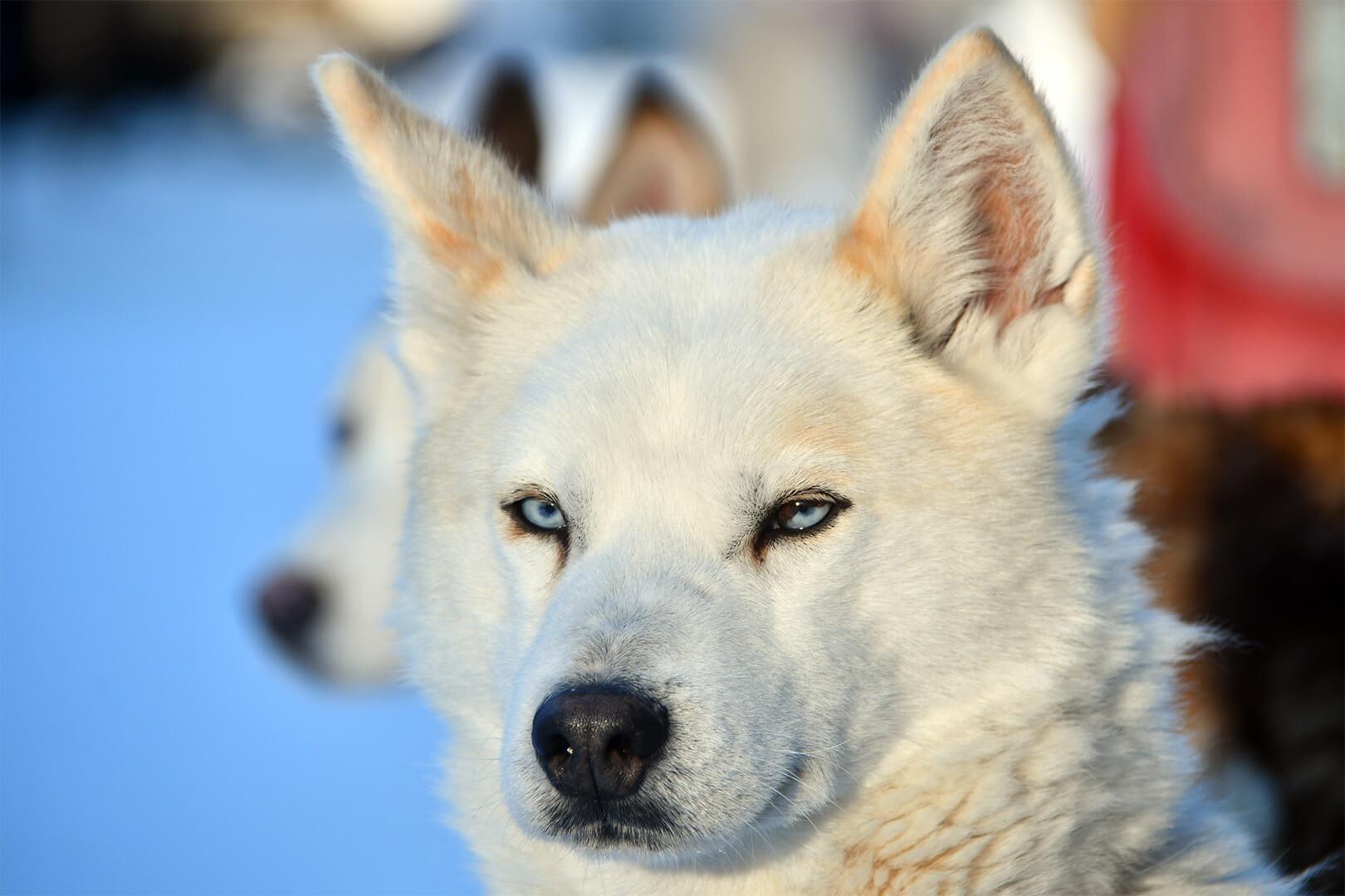 Husky bianco all'Husky Village