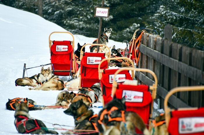 Cani da slitta pronti per l'escursione